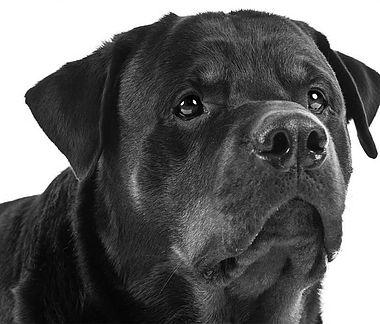 guard dogs in Chippenham